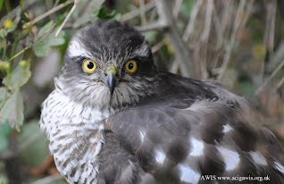 Juvenile sparrow-hawk